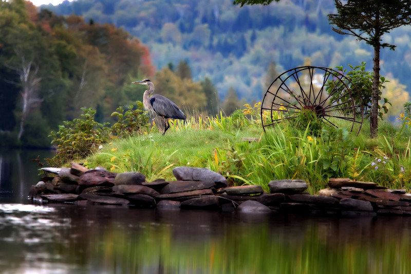 Great Blue Heron, Joe's Pond, VT September, 2010