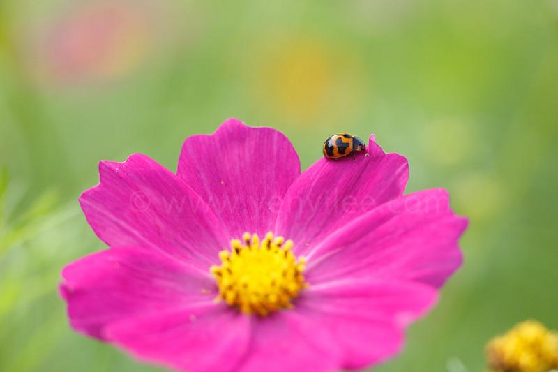 Ladybug on Cosmos