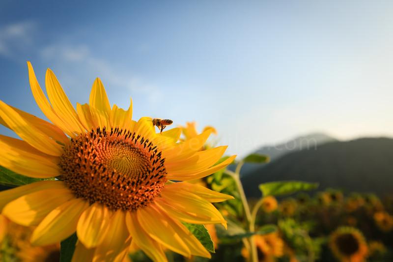 Sunflower @ Lake Toya, Hokkaido, Japan
