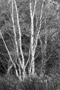 Birch trees fall Newfoundland