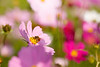 Honey bee feeding on cosmos flower
