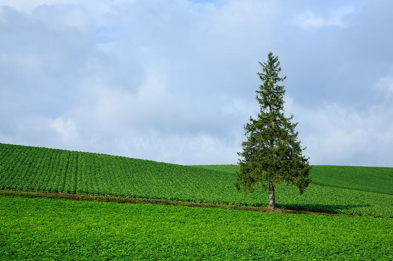 Christmas Tree @ Biei, Hokkaido