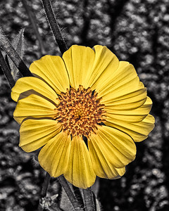 Desert Gold Sunflower