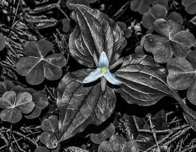 Pale Blue Trillium Flower