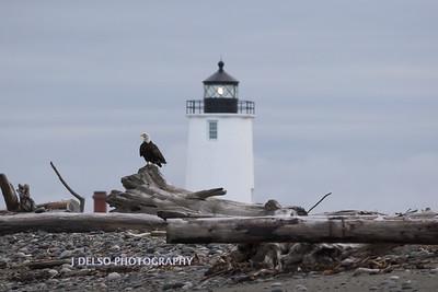 Bald Eagle Dungeness Spit-7139