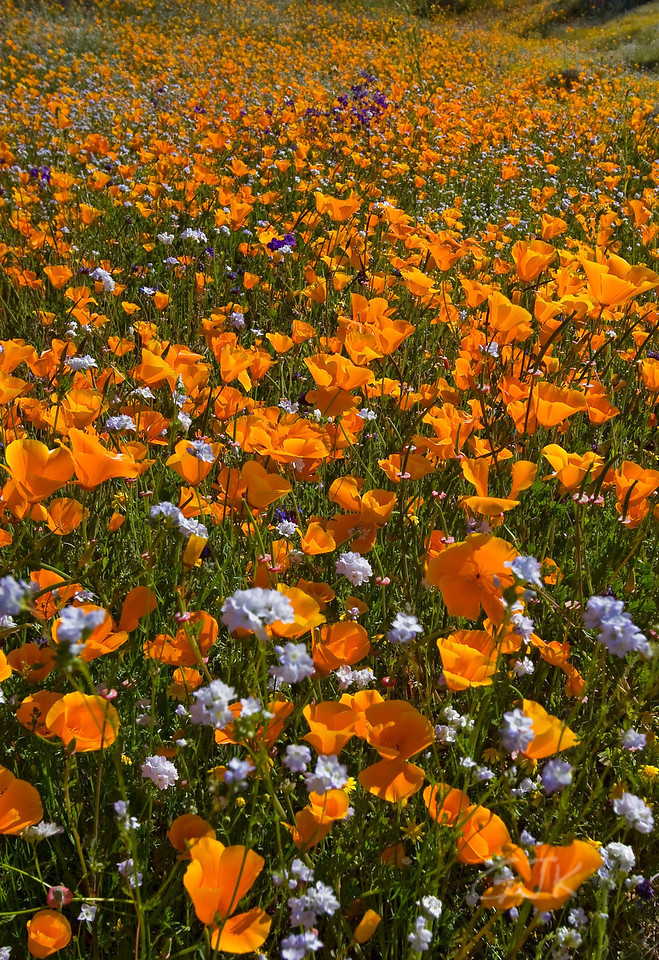 Poppy Fields 4-2010