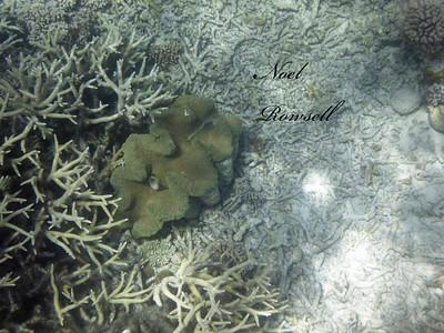 Agincourt Reef P1020710