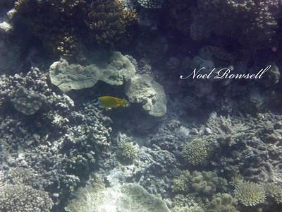 Agincourt Reef P1020714