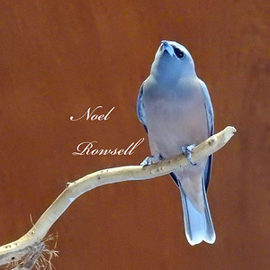 Black-faced Swallow DSCN6308