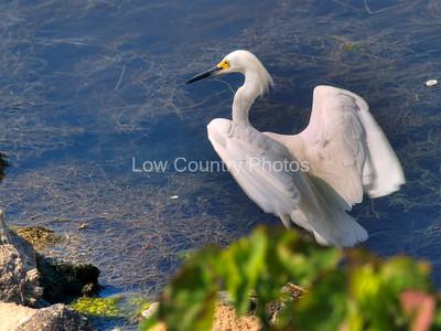(12) Snowy Egret near the marsh at Huntington Beach State Park, SC