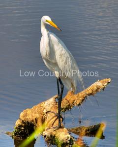 The Elegant Egret