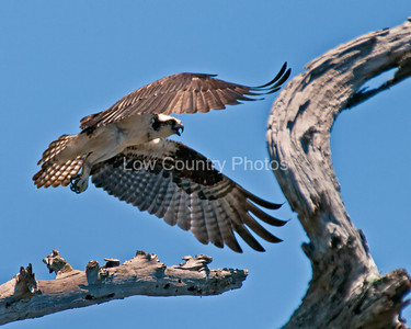Osprey landing - Georgetown, SC