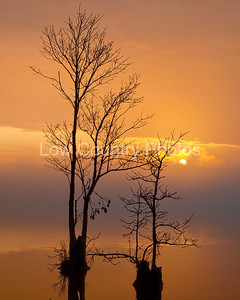 Cypress Silhouette in the Sunset