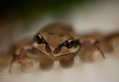 Pool Frog- Found in the pool Lintpot!