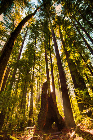 Henry Cowell Redwoods State Park, California