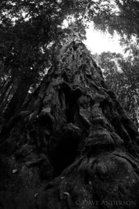 "HDR B&W image of Portola Redwoods State Park's ""Old Tree"", nearly 300ft. tall and 12 ft. in diameter."
