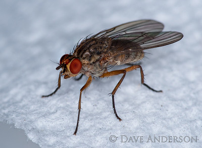 Fly on a paper towel, handheld 6-image stack. 100mm Macro with full set of Kenko extension tubes & Minolta  ringflash.