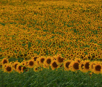 Sunflower Fields Forever, near Morrowville, Kansas