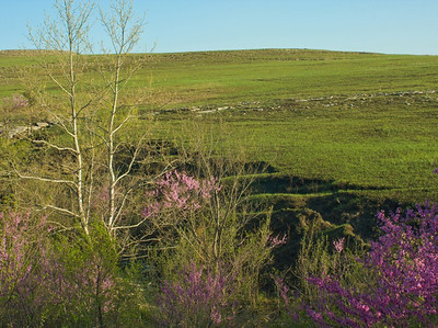 Redbud trees in the Flint Hills, near Alma, Kansas