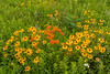 Butterfly Weed and Black-eyed Susans