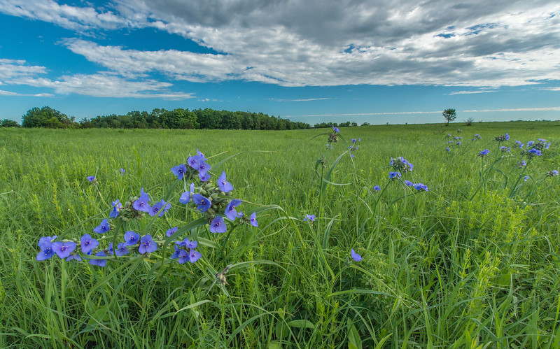 Spiderwort on a Oak-Savanna prairie