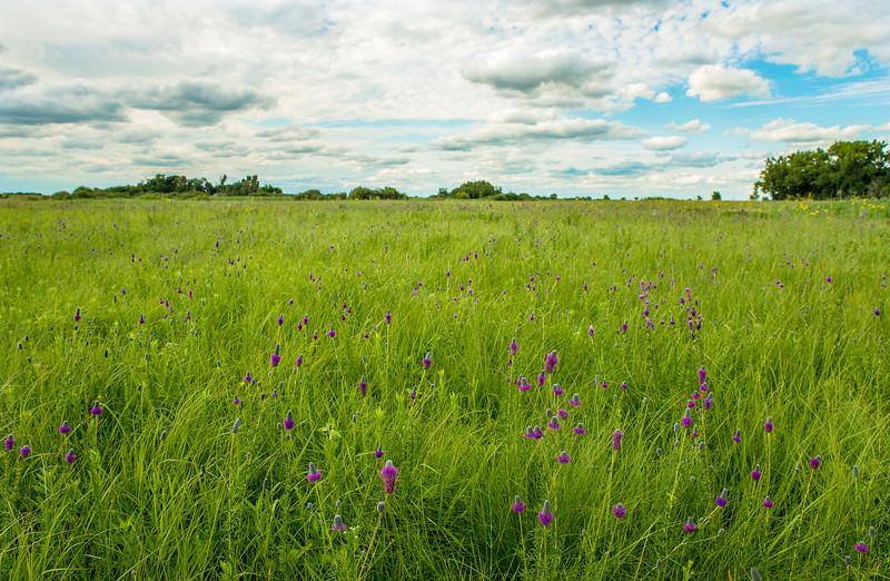 MNPR-13-82: Purple Prairie Clover
