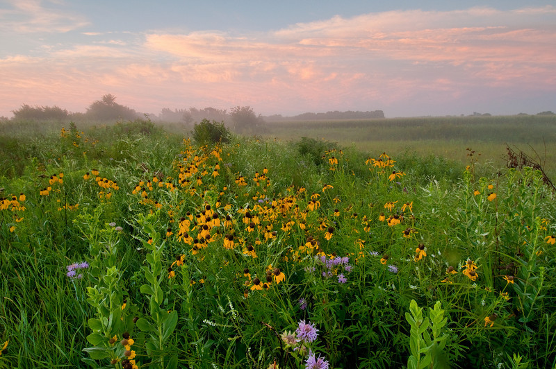 MNPR-10058: Grey-headed coneflowers on the prairie
