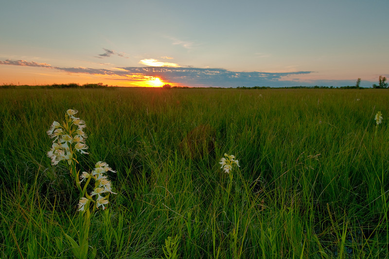 MNPR-10011: Western Prairie Fringed Orchids at sunset (Platanthera praeclara)