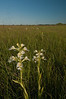 MNPR-10005: Western Prairie Fringed Orchid  (Platanthera praeclara)