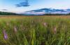 Rough Blazing Star on Oak-Savanna Prairie