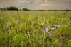 MNPR-13-53: Prairie Spiderwort