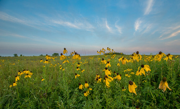 Gray-headed Coneflowers on the prairie