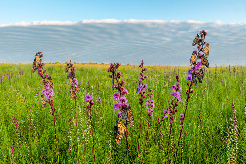 Blazing star and Monarchs on the prairie