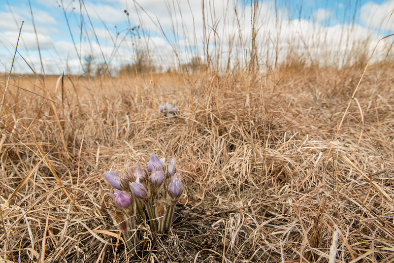 Pasque Flowers environment