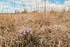 Pasque Flowers environment