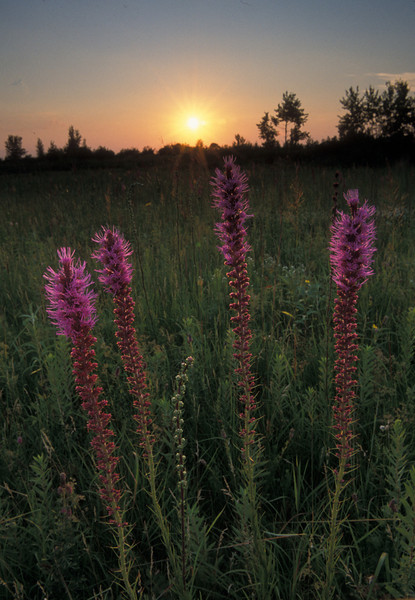 MNPR-4015-Prairie Blazing Star at sunset