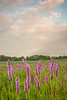 Blazing Star on the prairie