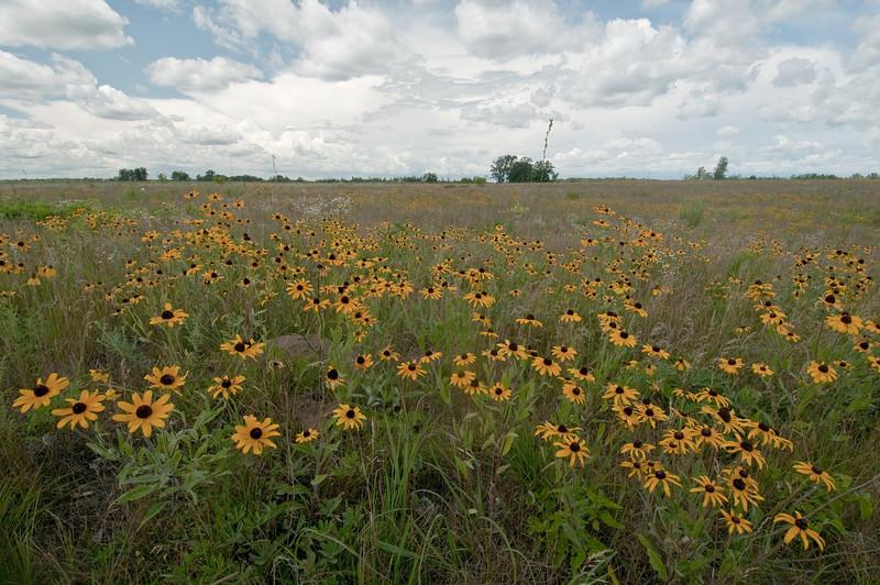 MNPR-9023: Black-eyed Susans on the prairie