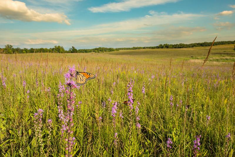 Monarch Butterfly environmental
