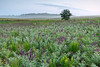 Lead Plant on Oak-Savanna prairie