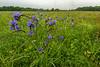 Spiderwort on the prairie
