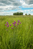MNPR-13-87: Purple Prairie Clover on the prairie