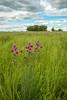 MNPR-13-87: Purple Prairie Clover on the prairie