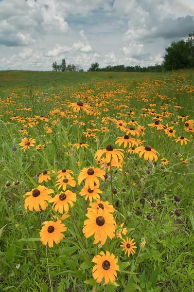 MNPR-10020: Brown-eyed Susans on the prairie