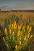 MNPR-13-177: Morning light on Showy Goldenrod