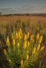 MNPR-13-177: Morning light on Showy Goldenrod