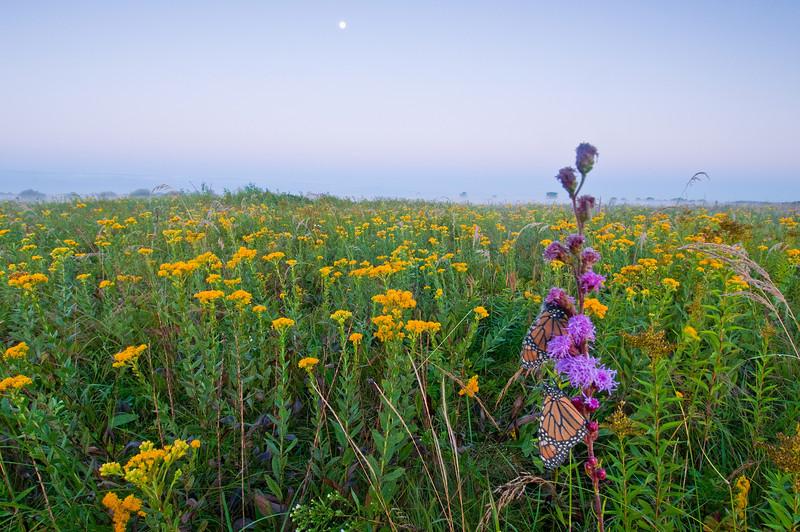 MNPR-10089: Monarchs on prairie habitat