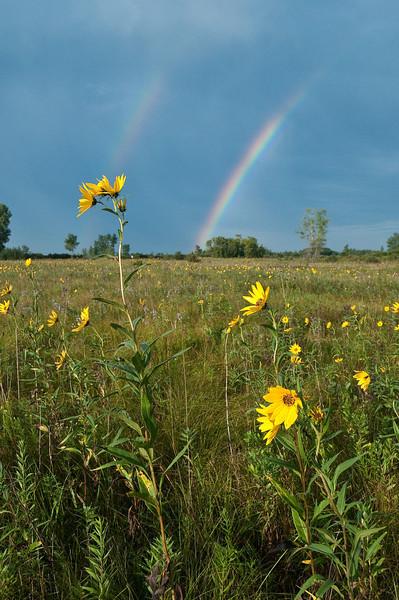 MNPR-9047: Tickseed sunflowers and rainbows