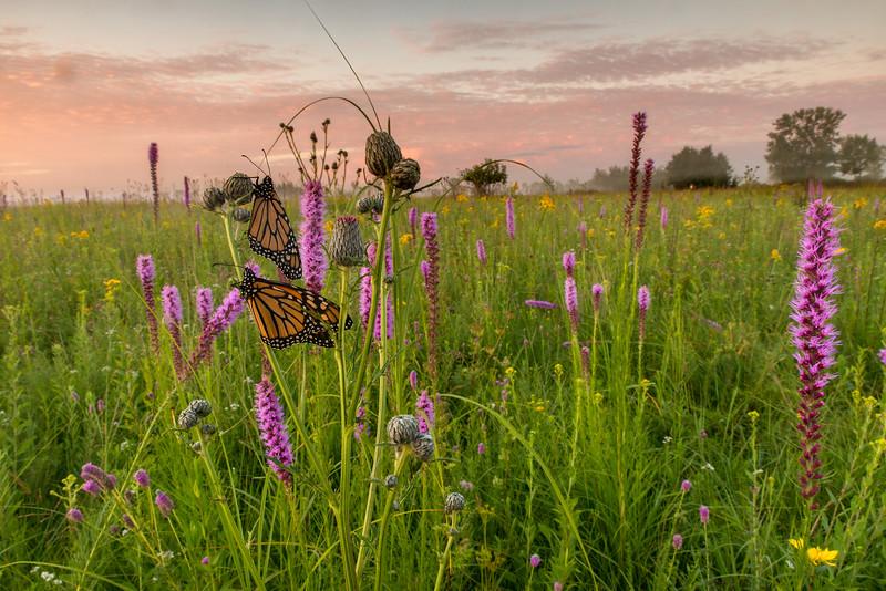 Monarchs on the prairie