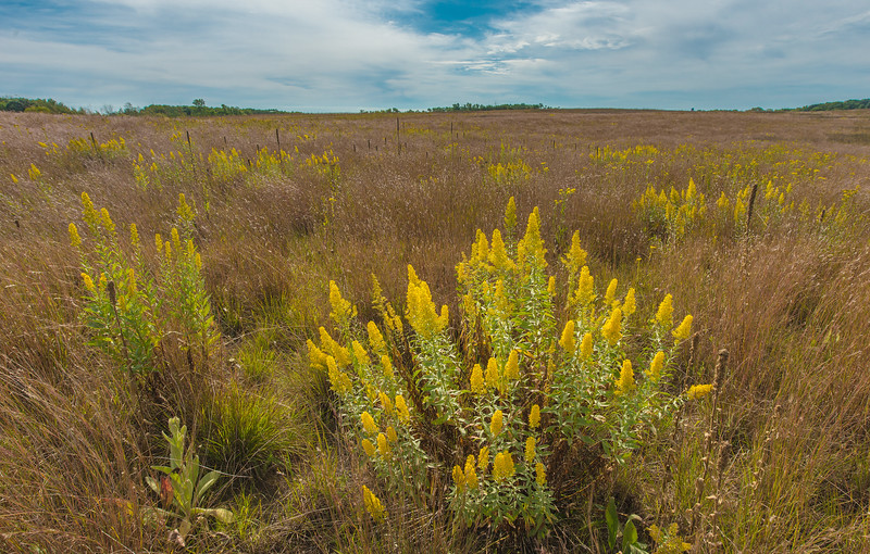 Showy Goldenrod at Veterans WMA